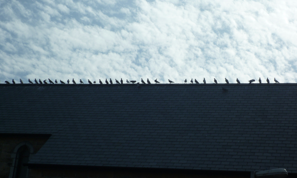 pigeons-at-st-ives